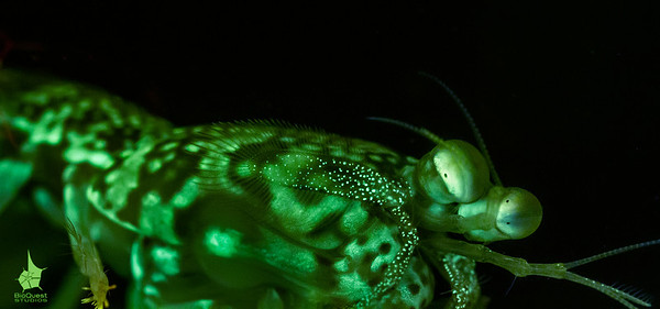 Mantis shrimp fluorescence. The species is possibly Gonodactylaceus falcatus.