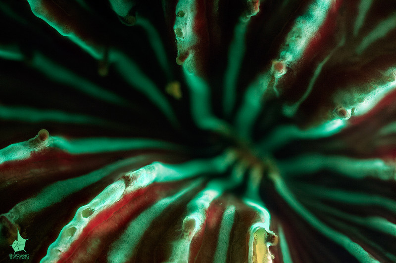 Hard coral (Fungia sp.) fluorescence.