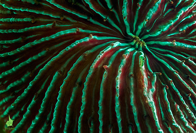 Hard coral (Fungia sp.) fluorescence. Regular light image of the same coral.