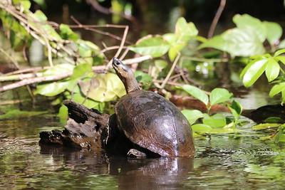 Tortuga in Tortuguero