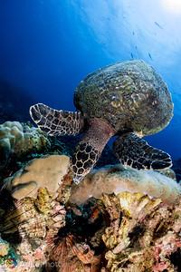 Hawksbill Turtle - Koh Tao, Thailand