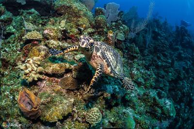 Hawksbill Sea Turtle - Roatan, Honduras 2