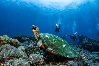 Hawksbill Sea Turtle - Nusa Penida, Indonesia