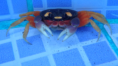 Crab in a Pool