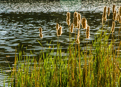 cattail patterns