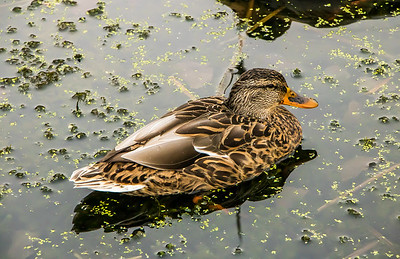 duck in marsh