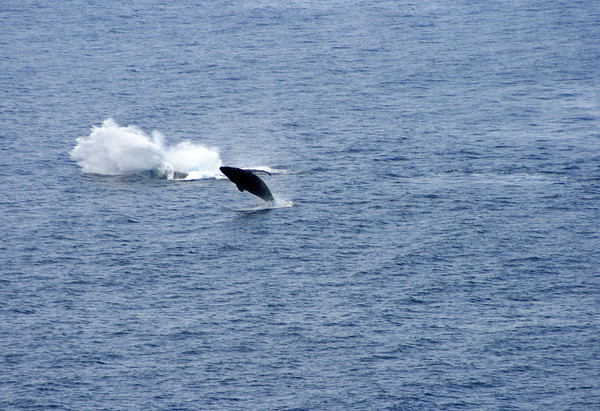 Pair of Humpback Whales (Megaptera novaeangliae) - breaching off Papawai Point - in the Au'au Channel