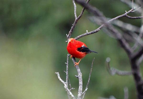 Scarlet Hawaiian Honeycreeper (Vestiaria coccinea) - 'I'iwi - endemic to the Hawaiian Islands - its long curved bill is used for drinking nectars