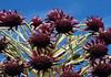Flower bloom of the Silverswords (Argyroxiphium sandwicense subsp. macrocephalum) - Haleakala crater - Upcountry region