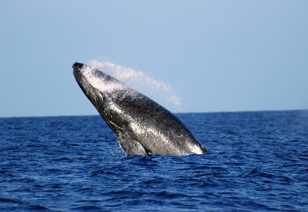 Humpback Whale (Megaptera novaeangliae) - breaching and exposing the top of the head and lower jaw which has rounded, bump-like knobs, each containing at least one stiff hair (whose purpose is not know in the zoological scientist)