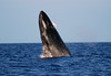 Humpback Whale (Megaptera novaeangliae) - with the water spilling from the blowhole as it breaches