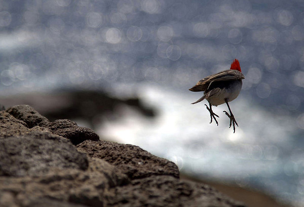 Red-crested Cardinal (Paroaria coronata) - also called the Brazilian Cardinaat - flight take-off from the volcanic rock
