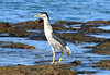 Black-crowned Night Heron (Nycticorax nycticorax) - 'Auku'u in Hawaiian - feeding in the tide pools at Ahini Kina'u Natural Area Preserve
