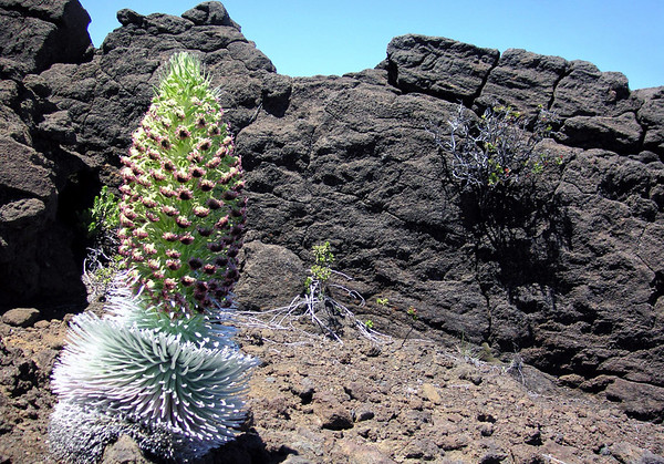 Silversword (Argyroxiphium sandwicense subsp. macrocephalum) - a monocarpic plant (one that flowers only once within its life span, sets seeds, then dies) - and this plant can live for up to around 50 years in this cold and high altitude of the Haleakala crater - Upcountry region