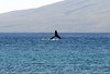 Fluke (dorsal side) - of a Humpback Whale (Megaptera novaeangliae) - with the island of Lana'i beyond