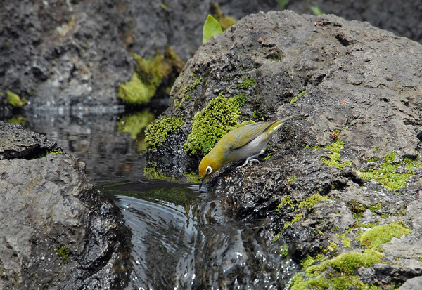 Japanese White-eye - grows to about 4 in. (10 cm) in length - taking a drink, along the moss growing upon the extrusive igneous rock