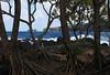 Hala Trees (Pandanus tectorius ), also called a Thatch Screwpine - on the Ke'anae  Peninsula (east shore) - with Pauwalu Point and Maku Mana (islet, or small rock island) beyond - Northeast island region