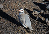 Chukar - a native Eurasian upland gamebird in the pheasant family - introduced to Hawaii in the 1950s - Haleakala crater - Upcountry region