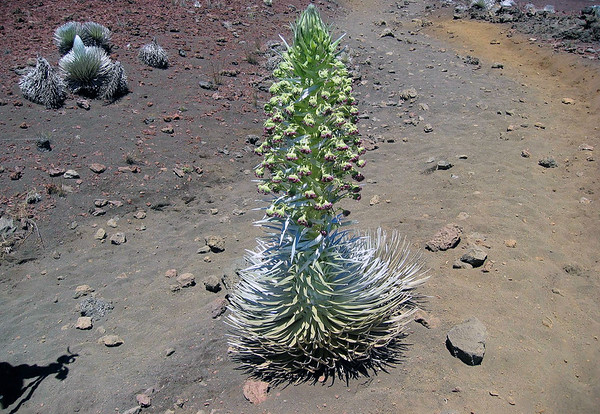 A blooming Silversword with another specimen just starting to grows it flower stalk bloom in the background - the Hawaiin name for this plant is ahinahina, pronounced (ah-he-na-he-na) - Haleakala crater - Upcountry region