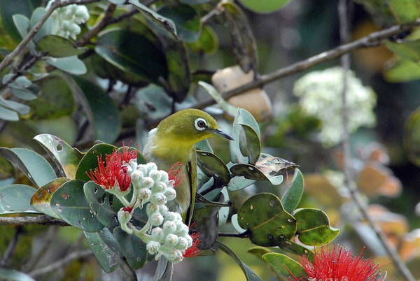 Japanese White-eye (Zosterops japonicus) - perched in an Ohi'a Tree (Lehua blossom)