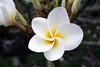 Frangipani - or simply a Plumeria - (Plumeria obtusa) - used as a Lei flower in the Hawaiian Islands
