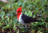 Red-crested Cardinal - also called the Brazilian Cardinal (Paroaria coronata) - introduced to the Hawaiian islands in 1930 from South America
