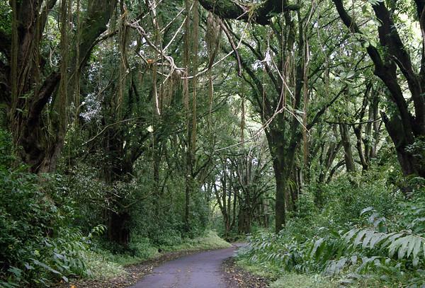 Road to the village of Nahiku - Rubber Trees (Ficus elastica), native to India and Malaysia - Northeast island region