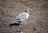 Chukar (Alectoris chukar) - also called the Red-legged Partridge or Rock Partridge - Haleakala crater