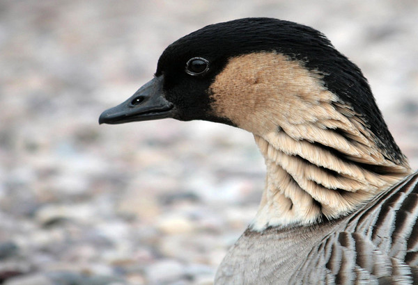 Nene (Branta sandvicensis) - have black heads and hindneck, buff cheeks and heavily furrowed neck - the State Bird of Hawai'i