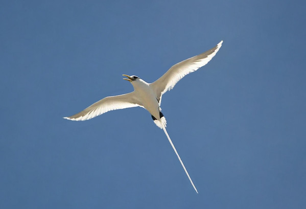 White-tailed Tropicbird (Phaethon lepturus dorotheae) - a pelagic bird (frequents coastal waters and the open ocean) - aerial dives into the water to catch its prey of fish - they grow to around 32 in. (80 cm) long (including the long tail), up to about 38 in. (96 cm) wingspan, and both sexes are similar in appearance