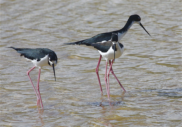 Hawaiian Stilts (himantopus mexicanus knudseni) - endemic to the Hawaiian Islands - standing about 16 in. (41 cm) tall