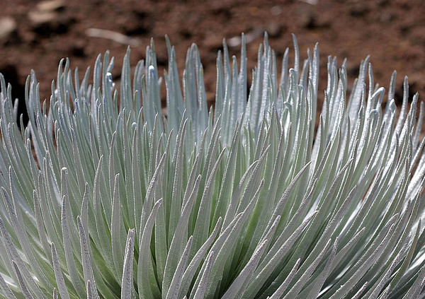 Silversword - the succulent leaves, with their fuzzy hairs that protect the plant from the suns rays, and absorbs moisture from the mist of passing clouds - Haleakala crater - Upcountry region