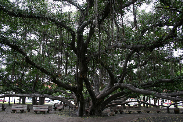 """Core of the Indian Banyon Tree (Ficus benghalensis) - this species is an """"epiphyte"""" (begins is life as a germinated seed up in the cracks and crevices on a host tree) - this specimen planted in 1873 at the Courthouse Square in Lahaina (town) - today it stands about 60 ft. (18 m) tall, has 12 major trunks, and stretches over a 200 ft. (61 m) area - West Maui region"""