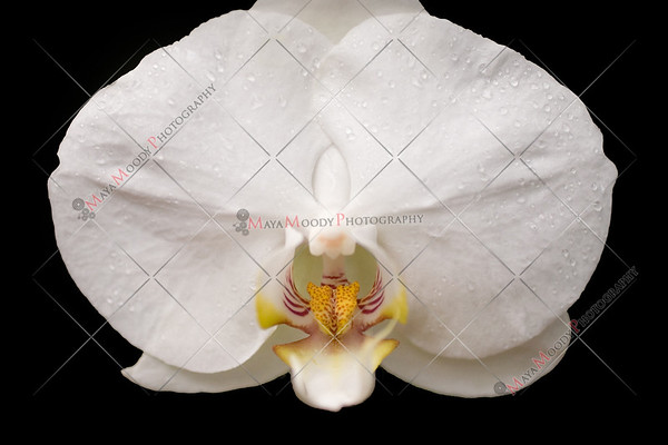 Isolated Orchid on Black Background
