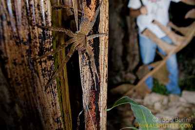 Phoneutria nigriventer (brazilian wandering spider / armadeira)