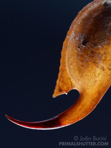 Tityus serrulatus (Buthidae)
