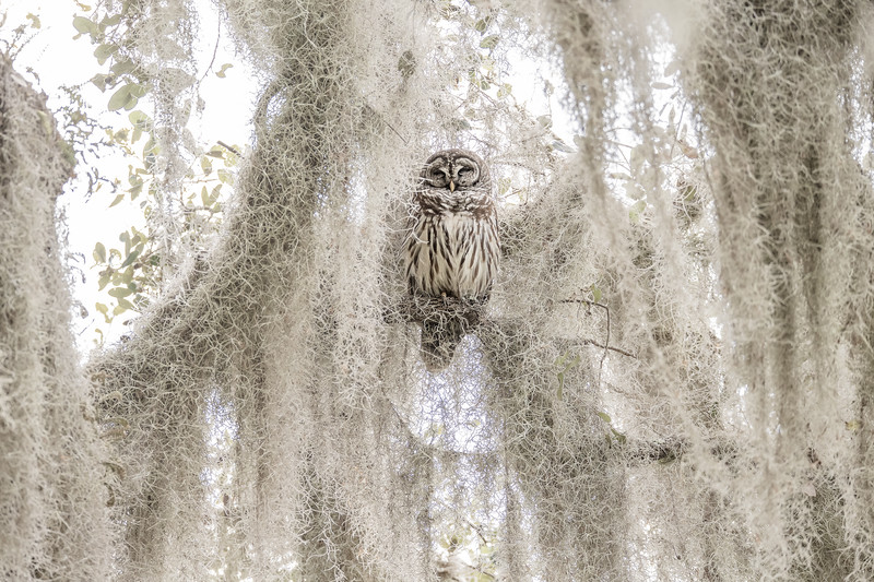1st Place - BobQuarles_Owl in the Moss copy
