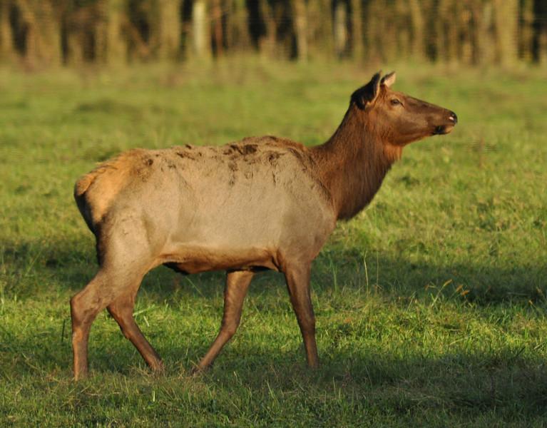 Elk in Boxley Valley near Jasper AR.
