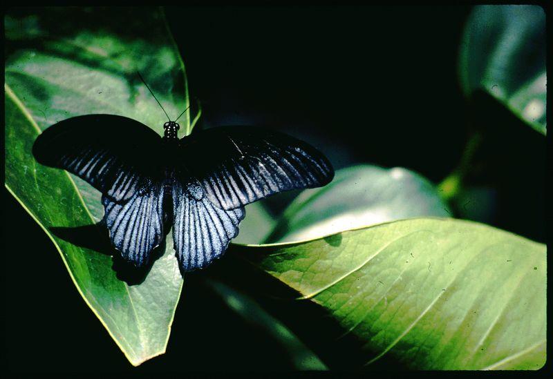 Black Callaway Butterfly, 2003
