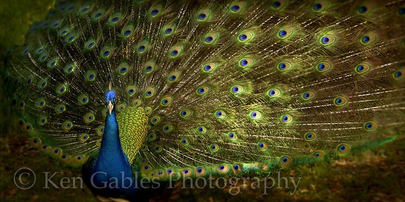 Peacock, Magnolia Plantation, Charleston County South Carolina