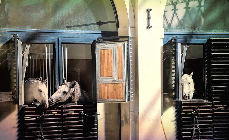 Lippizzan Stallions