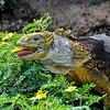 Galapagos - Land Iguana