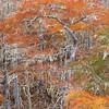 DWARF CYPRESS SWAMP