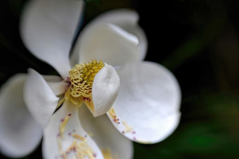Bigleaf Magnolia Blossom