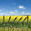 Canola Fields with Rusty Fence