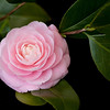 """Pink Camellia"""