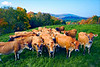 """Till the Cows Come Home""<br /> Central Vermont"