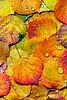"""Aspen Leaves""<br /> San Juan Mountains<br /> Ouray, CO"