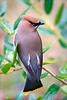 """Cedar Waxwing""<br /> My Backyard"
