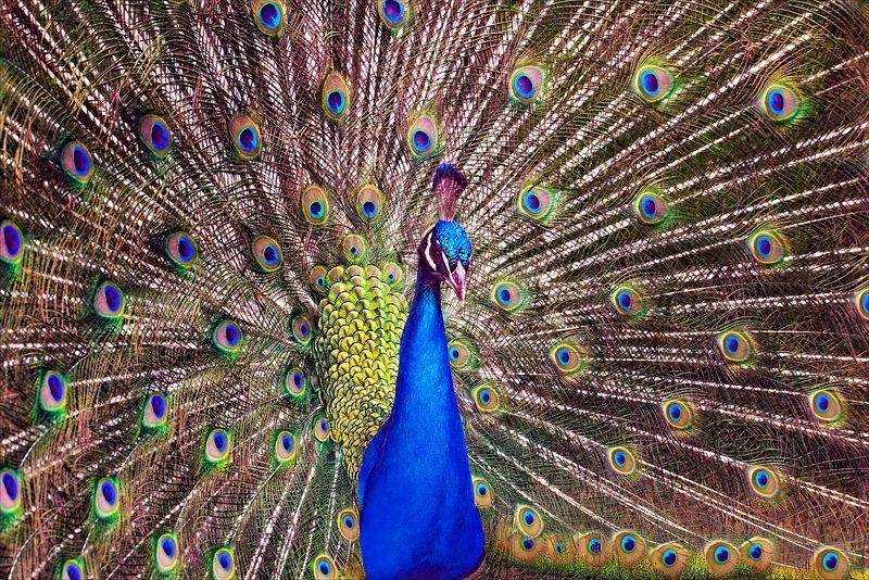 """""""Peacock""""<br /> Wildlife Refuse<br /> Oregon Coast"""